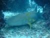 Requin-nourrice1