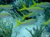 Barbarie blanc - Mulloidichthys martinicus