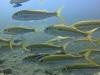 Rouget à bandes jaunes - Mulloidichths vanicolensis