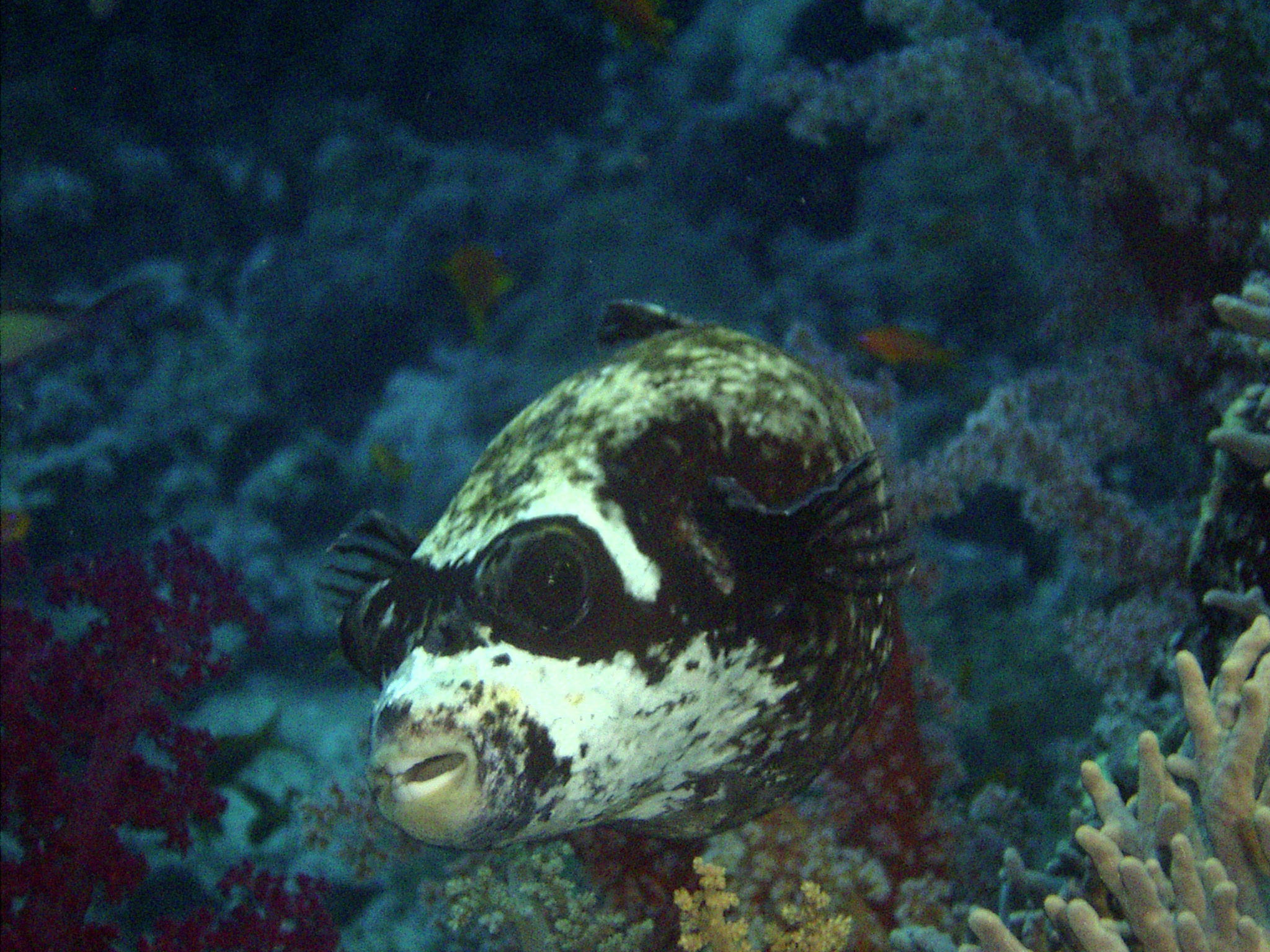 Tetrodon masqué