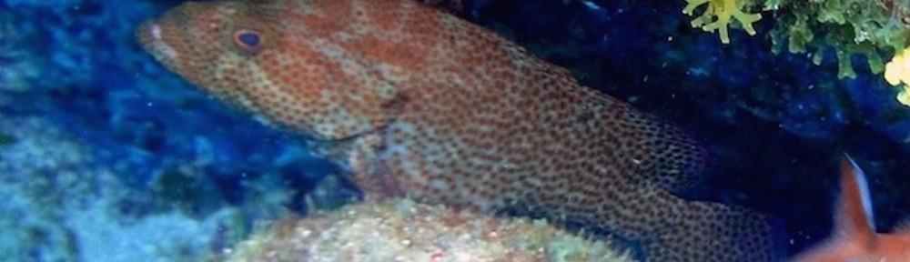 Couronné chat - Cephalopholis cruentatus