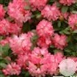 Rhododendron yakushimanum Anuschka